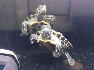 Two Red ear slider turtles
