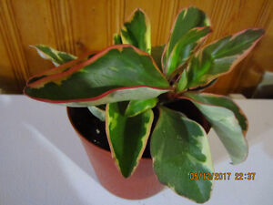 """Peperomia """"Ginny"""" Tricolor Plant"""