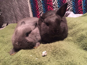 two netherland dwarf rex bunnies