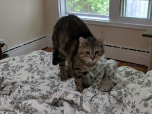 Missing Tabby Cat - Chocolate Lake Area
