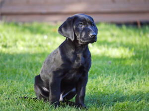 Purebred Labrador retriever puppy