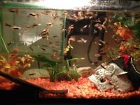 3 month old juvenile guppies for sale