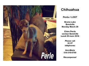 ****CHIEN PERDU, MISSING DOG LAC BROME/RECOMPANSE****
