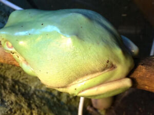 ISO (In Search Of) Adult Male White's Tree Frog