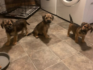 Terrier Cross Puppies For Sale - PRICE REDUCED
