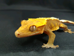 Male Crestesd Gecko