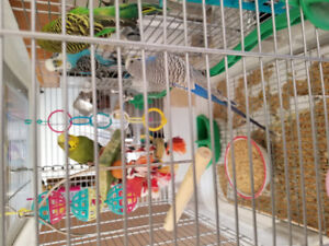 4 BUDGIES for sale!