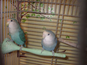 Baby love birds available