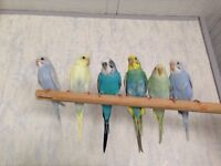 "Beautiful Baby Budgies 4 Sale ""2 left"""