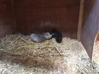 Chinese painted quail for sale ****