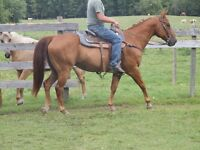 Very nice Reg QH Gelding Any one can ride 14.3 HH