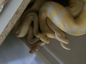 17 ball pythons in everything you need breeding set up