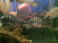 Amazing …African cichlid fish for rapid sale…Frontosa (Kigoma)