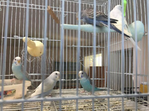 Budgies | Adopt Local Birds in Greater Vancouver Area | Kijiji