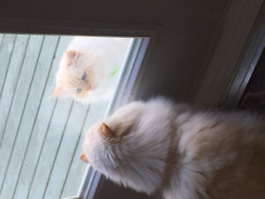 Purebred rag doll white cat missing