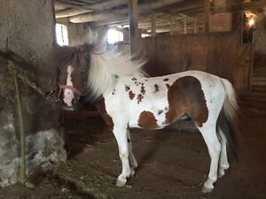 Double Registered 4 Year Old Colt For Sale