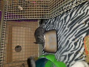 3 Baby chinchillas for sale 100$ each