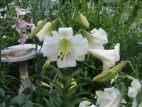 Ontario Regional Lily Society Annual Bulb Sale and Auction