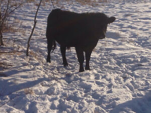 Bred Speckle Park Heifer And Yearling Bull
