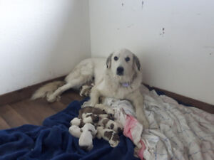 Great Pyrenees/Anatolian Shepherd Puppies for sale