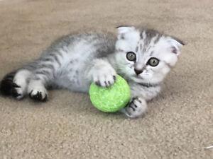 Scottish fold straight kittens for You