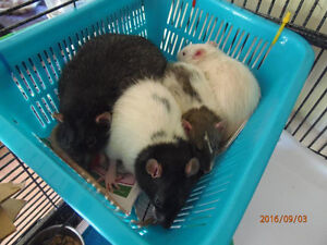 Looking for someone to care for my pet rats over Christmas!