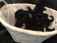 7/8 pug pups