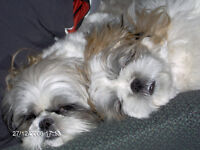 CARE FOR TWO WELL BEHAVED SHIH TZU'S IN YOUR HOME!