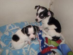 Chihuahua/Pug READY TO GO