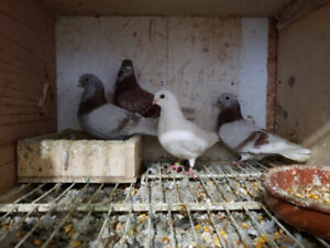 Pigeons figurita breeding pairs for sale or trade
