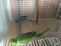 Indian Ring Neck Pair For sale