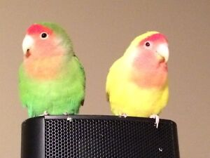 Beautiful pair of Lovebirds