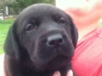 Lab Puppys 1 Black Male left - Raised on hobby farm by family
