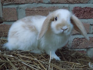 Holland Lop Baby Bunnies For Sale!!