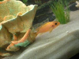 """Cichlids 1"""" can deliver free to winnipeg this saturday only"""