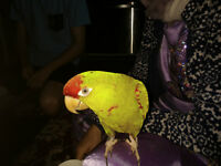 Conure a front rouge