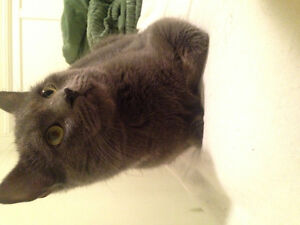 Young male cat for adoption
