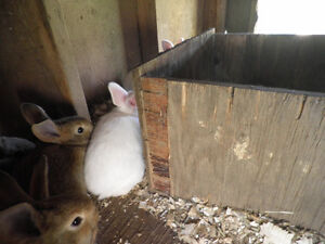 Weaned Bunnies -Flemish Giants-