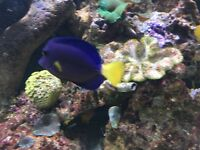 ". 3-4 "" Purple tang reef safe marine fish for salt water fish tank aquarium"
