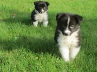Adorable Collie puppies