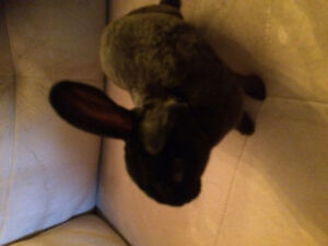 Young adorable male Rex bunny