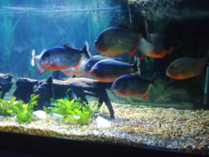 School of large piranha