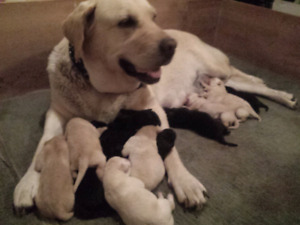 Gorgeous Pure Yellow and Black Labrador Puppies / lab puppies