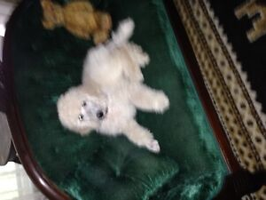 Loving White Standard Poodle Puppies