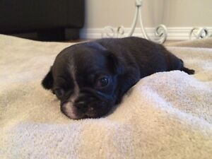 Beautiful frug puppy