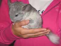 CHINCHILLA,élevage