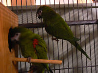 PAIR OF HAHN'S MACAWS FOR SALE