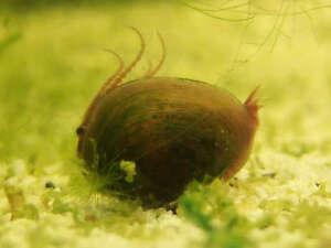 New! Primordial Mix fairyshrimp/triops/clamshrimp
