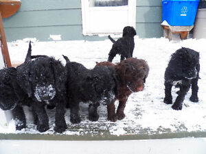 springier doodle puppies for sale
