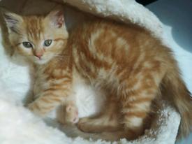 Persian x Bengal kittens